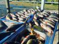 Lake-Purrumbete-Redfin-catch